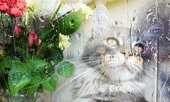 Cats love windows (sophie_merlo) Tags: flowers pet pets window rain animal animals cat ventana lluvia kitten feline 2000 kitty gato mainecoon 3000 1000 300faves