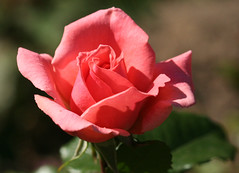 01-IMG_4202 (hemingwayfoto) Tags: rot rose flora pflanze blume blte stadtpark facebook botanik blhen kalinka duftend rosengewchs beetrose