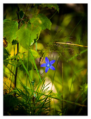 lily (Marko Veikkola) Tags: blue plant flower green nature suomi finland woods blossom olympus delicate e500