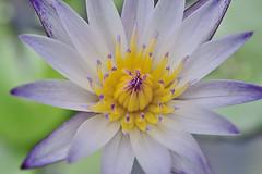 2015_蓮與荷第三彈 (米漿 專賣店) Tags: lotus g d750 60mm 60 荷花 蓮花 蓮花季