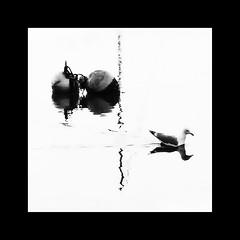 Bouyed (Bruus UK) Tags: water bird gull geometry marine coast harbour teignmouth devon blackwhite bw highkey ripple swimming movement reflection bouy floating calmness abstract