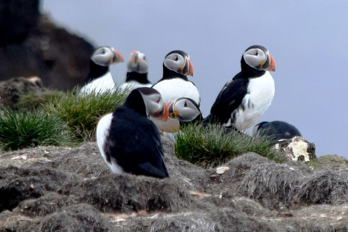 Puffins at Bird Island near Elliston, Newfoundland