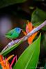 Blue Dacnis (Colleen Easley) Tags: costarica blue dacnis bluedacnis