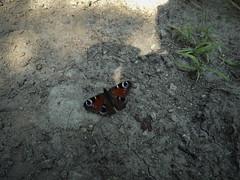 Nappali pávaszem (Inachis io) (jetiahegyen) Tags: rovar börzsöny túra túrázás kirándulás tour hiking outdoor lepke butterfly insect