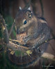 Nutkin (JKmedia) Tags: boultonphotography canon newquayzoo squirrel nut hold cute rodent stripy small furry