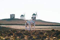 Los gigantes de la Mancha (Leo Hidalgo (@yompyz)) Tags: pitia dálmata dalmatian dog animal perro castilla la mancha molinos de viento explore travel yompyz landscape