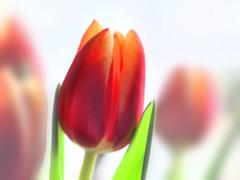 Freitagsblümchen (nirak68) Tags: 054365 tulpe tulipa tulip liliaceae winter 2017ckarinslinsede bearbeitet liliengewächs blumenstraus blüte blossom blume makro 7dwf flora flower