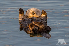 Otter Yoga (fascinationwildlife) Tags: animal mammal wild wildlife nature natur southern sea otter seeotter morning winter ocean morro bay harbour california usa america cute yoga