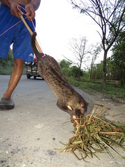 civet cat (musang) (DOLCEVITALUX) Tags: musang philippinecivetcat civet civetcat animal indigenous philippines