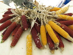Mazorcas para rosetas (Micheo) Tags: stilllife food comida bodegn maiz cotufas palomitas mazorcas rosetas panochas