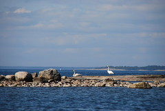 Swans come in pairs (Basse911) Tags: sea water rock suomi finland islands stones balticsea hanko nordic ostsee itmeri archipelago stersjn skrgrd saari cygnuscygnus saaristo hang whooperswans sooc sngsvanar laulujoutsenia