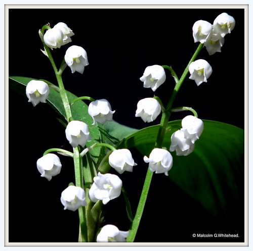 Lily of the valley.  (  Convallaria majalis  )