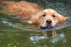 dog pets water animals swimming dogobedience