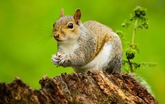 Grey Squirrel -Sciurus carolinensis (furball2011) Tags: park trees fern tree green nature southwales wales woodland mammal grey spring nikon squirrel wildlife may telephoto stump sciuruscarolinensis 2013 d7100 bbcwalesnature 55300mm