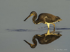Tri-colored Heron With Shrimp (stan hope Off - death of dear friend!) Tags: morning usa nature birds reflections fisherman nikon florida wildlife swamp d3 waterbirds tricoloredheron floridawildlife wadingbirds specanimal nikond3