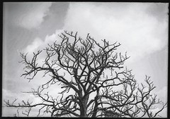 Technidol Tree (fawcetownsley) Tags: bw film diy 110 agfa 16mm rapid 25asa fixer 22mm v500 minolta16 technidol copex