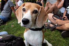 beagle (erinstotle) Tags: beagle dogs pups montreal montroyal doggies parclafontaine lafontaine beagles