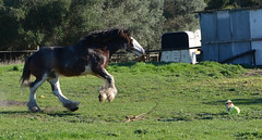 Jos playing ball with Indee (Dreamscope Photography) Tags: horses mare country australia aussie stallion equine mansfield clydesdales rushworth gelding countryshow equestrion kathrynpotempski dreamscopephotography heaveyhorse mansfieldshow moorawookingdraughthorsemuster