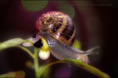 -slow life- (swaily ◘ Claudio Parente) Tags: macro nikon lumaca d300 claudioparente swaily