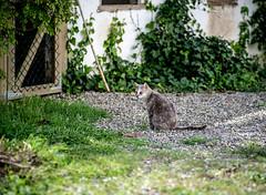 Catlife (oZopanda - David Cvico) Tags: cats nature nikon gatos d600