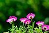 Just soaking up the sun (ArvinderSP) Tags: flowers nature closeup nikon bokeh iceplant dorotheanthusbellidiformis justsoakingupthesun arvindersp