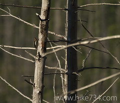 """Juvenile Red-naped Sapsucker • <a style=""""font-size:0.8em;"""" href=""""http://www.flickr.com/photos/63501323@N07/9459200768/"""" target=""""_blank"""">View on Flickr</a>"""