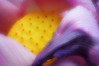 Lotus Flower (pinhole photo)