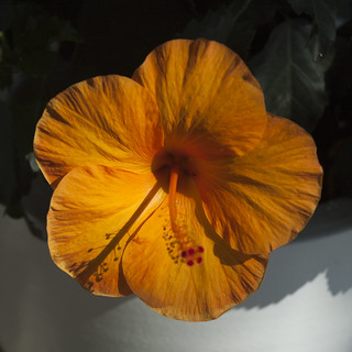 hibiscus orange2
