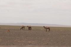 Wild Camels - Ömnögovi, Mongolia (Myriam Bardino) Tags: wild desert mongolia camels gobi journeys nomadic omnogovi nomadicjourneys