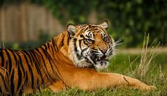 WHF 184 ([ Greg ]) Tags: heritage wildlife tiger foundation bigcat tigris bigcats sumatran toba panthera headcorn sumatrae whf