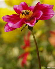 Afternoon Pause at Dahlia Hill (smfmi) Tags: dahlia floral pentax michigan bee midland kx justpentax dahliahill frohm
