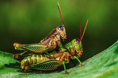 grasshopper (Valter Patrial) Tags: art insect grasshopper macros insetos slta99v
