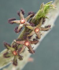 """Rhytidocaulon ciliatum"" (A Botanical Wonderland) Tags: flower stick stapelia ciliatum orbea asclepiadaceae huernia duvalia caralluma rhytidocaulon"
