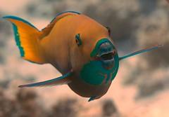 IMG_8439 (Raymond Dixon) Tags: macro water canon redsea egypt sharm aquatica 5dmkii raymonddixon aridonyx