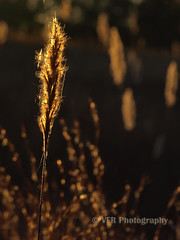 Singled-out (VFR Photography) Tags: autumn fall nature field grass rural countryside stem glow tn head tennessee country seed seeds heads stems fields glowing grasses lateafternoon earlyevening goldenlight spidersilk stewartcounty nearcumberlandcity