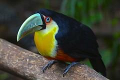 Red-breasted Toucan (marcwiz2012) Tags: brazil bird southamerica zoo toucan wildlife iguazu iguacu iguassu birdpark fozdoiguacu parquedasaves