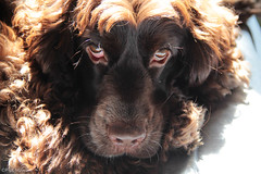retrato.. (paulmayca) Tags: portrait dog pet pets chocolate perros cocker mascotas englishcocker galileo petportrait petsportraits retratodemascotas