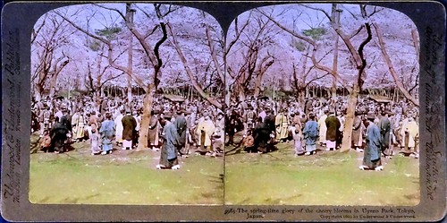 The Springtime Glory of the Cherry Blossoms in Uyeno Park, Tokyo, Japan (1905)