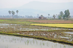 Misty Morning Paddy Fields, Laos (Oliver J Davis Photography (ollygringo)) Tags: morning travel trees mist mountains misty nikon southeastasia rice paddy farm farming fields agriculture laos ridges paddyfield 2013 oliverdavisphotography oliverjdavisphotography