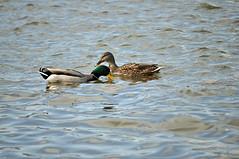 Going my way (Nicholas Delaney) Tags: green water birds animals river duck pittsburgh pennsylvania wildlife mallard