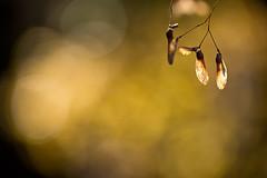 Light of Late Autumn (chibitomu) Tags: autumn light plant macro nature japan canon eos maple bokeh seed  saitama      kawagoeshi   5dmarkiii canonef100mmf28lmacrois chibitomu vision:sunset=0662 vision:plant=0575 vision:clouds=0857 vision:sky=0833