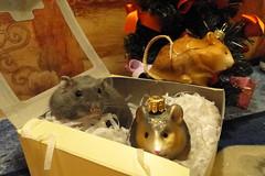 Merry hammy(naughty) Christmas from Robert and the hamgang!!:) (springhawk) Tags: christmas pet robert animal rodent dwarf hamster baratheon kek