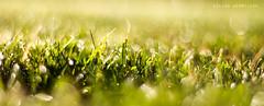 green light (Kilian H.) Tags: morning light detail macro green nature water beautiful field grass canon eos 50mm licht droplets drops warm dof magic h 7d gras grn kilian sund morgentau deph hermfisse