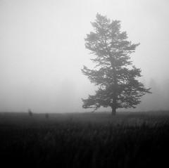 walk in the dark & light (Just-a-Song) Tags: blackandwhite tree film field fog mediumformat square montana hasselblad bwfilm hasselblad500cm kodaktmx100 ilovethistree nwmontana lyricaltitle birdsandstars elephantrevival highlylikelyihadfartoomuchespressotoday