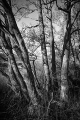Shadows and Tall Trees (munro14) Tags: trees winter bw white black grass shadows teal bare northumberland bark rivertill