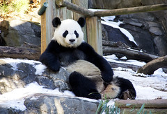 Panda Pose (Jared Mackey Photography) Tags: life atlanta friends wild people snow cute green nature fashion birds animals loving portraits georgia fun outside photography zoo weird cool interesting model colorful panda downtown shadows natural random modeling awesome tiger creative hipster lion adorable photographers sunny loveit adventure goats redpanda monkeys cubs lovely pettingzoo coldweather bizarre radiant atlantazoo malemodel stylish lioncubs creators portraitphotography bromance