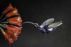 Violet Sabrewing (Steve Corey) Tags: costarica hummingbird pueblo explore nuevo centralamerica birdinflight violetsabrewing stevecorey gregbasco {vision}:{mountain}=0633 {vision}:{dark}=0653 {vision}:{sky}=0702 {vision}:{outdoor}=0678
