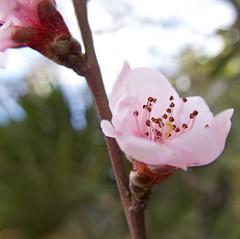 el invierno se aleja (McMexicano ) Tags: flower nature canon flor peach powershot durazno g16 peachflower flordeldurazno guillermobuelna モモの花