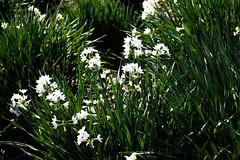(ddsnet) Tags: plant flower japan tokyo sony 99  nippon    nihon  slt      tkyto     flowerinjapan singlelenstranslucent 99v