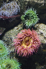 Nature (iconicphotoservices) Tags: ocean sea color nature coral vertical aquarium spain underwater vibrant lisbon group nobody indoors anemone photograph seaanemone marinelife actinaria